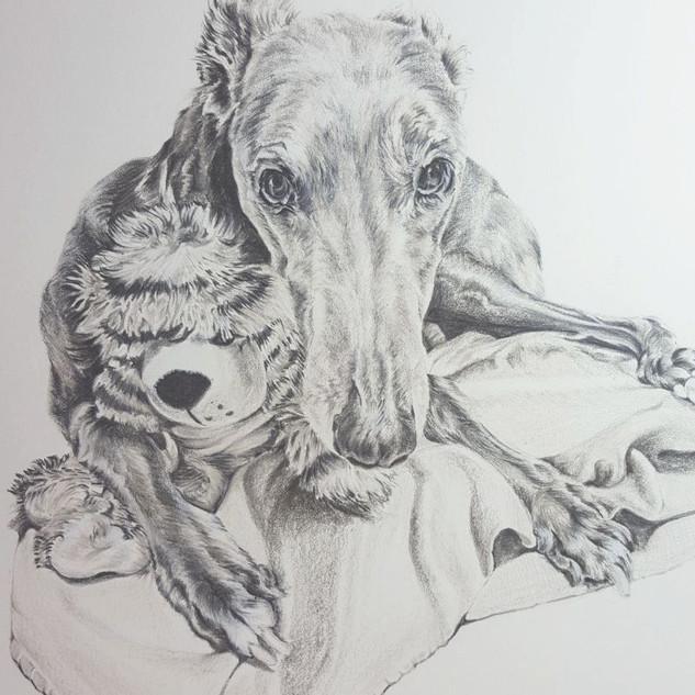 archie-greyhound-colour-pencil-portrait-