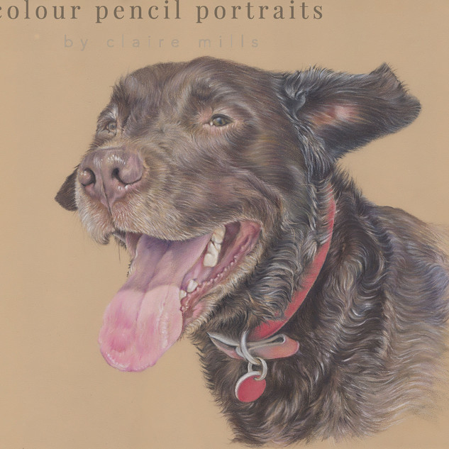 ollie-chocolate-labrador-dog-portrait-by
