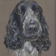 dexter-blue-roan-cocker-spaniel-portrait-by-claire-mills-coloured-pencil-portrait.jpg