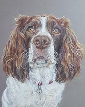 Willow Springer Spaniel Pet Portrait Col