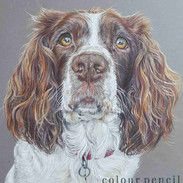 willow-springer-spaniel-claire-mills-col