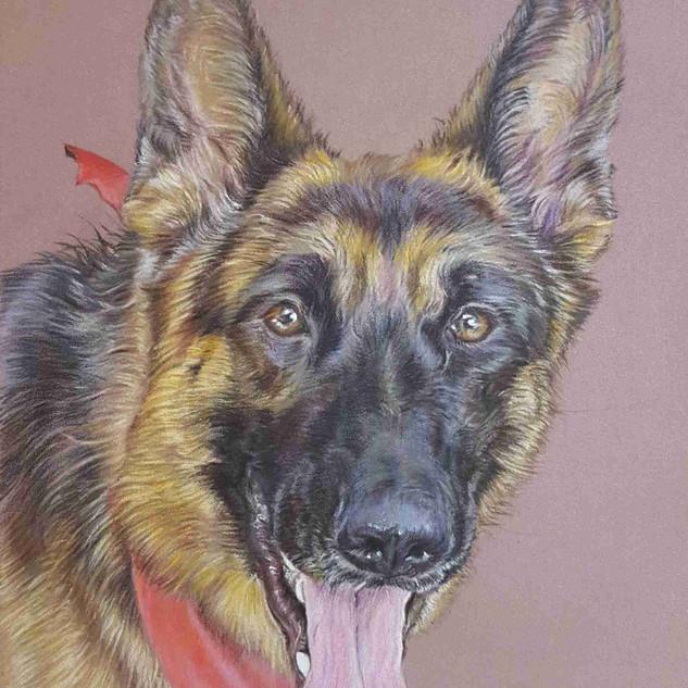 raiden-german-shepherd-colour-pencil-por