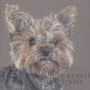 toby-yorkshire-terrier-colour-pencil-por