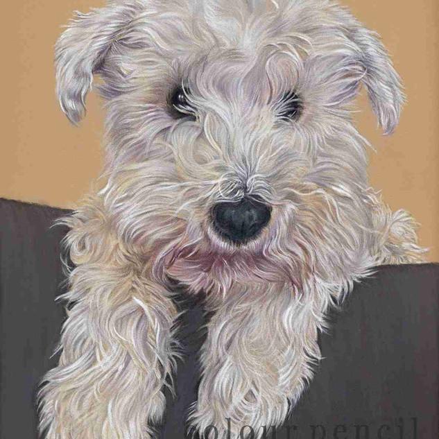 teo-shih-tzu-pet-portrait-claire-mills-c