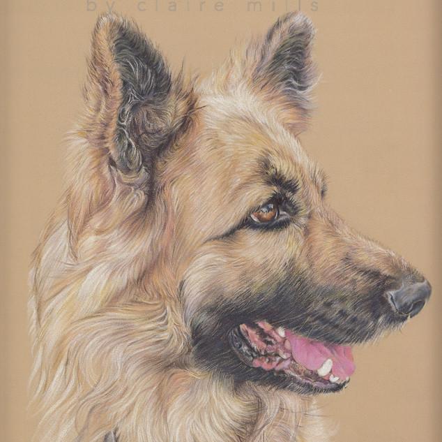 duke-german-shepher-long-haired-sable-co