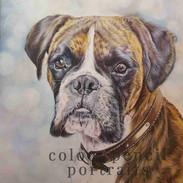 Henry-Boxer-Dog-Colour-Pencil-Portrait-C