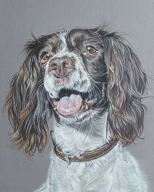 Springer Spaniel Dog Portrait by Claire
