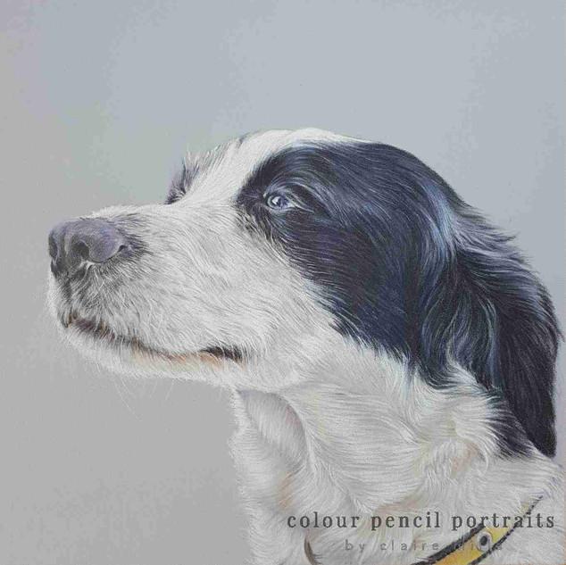 Border-Collie-Cross-Pet-Portrait-Colour-