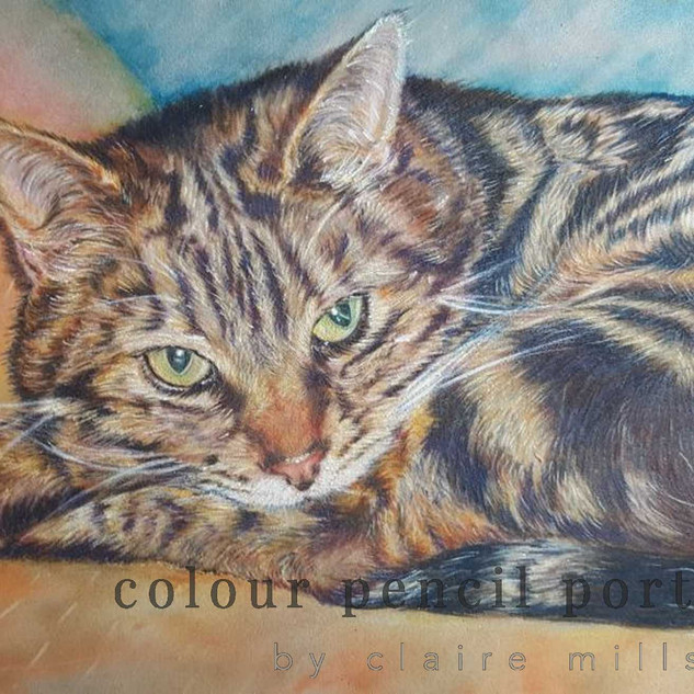 tabby-cat-scoob-colour-pencil-portrait-c