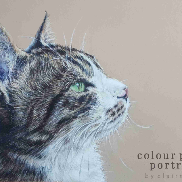 duke-tabby-cat-claire-mills-colour-penci