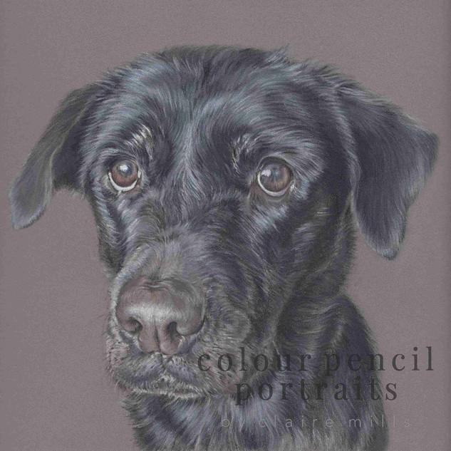 bailey-black-labrador-colour-pencil-port