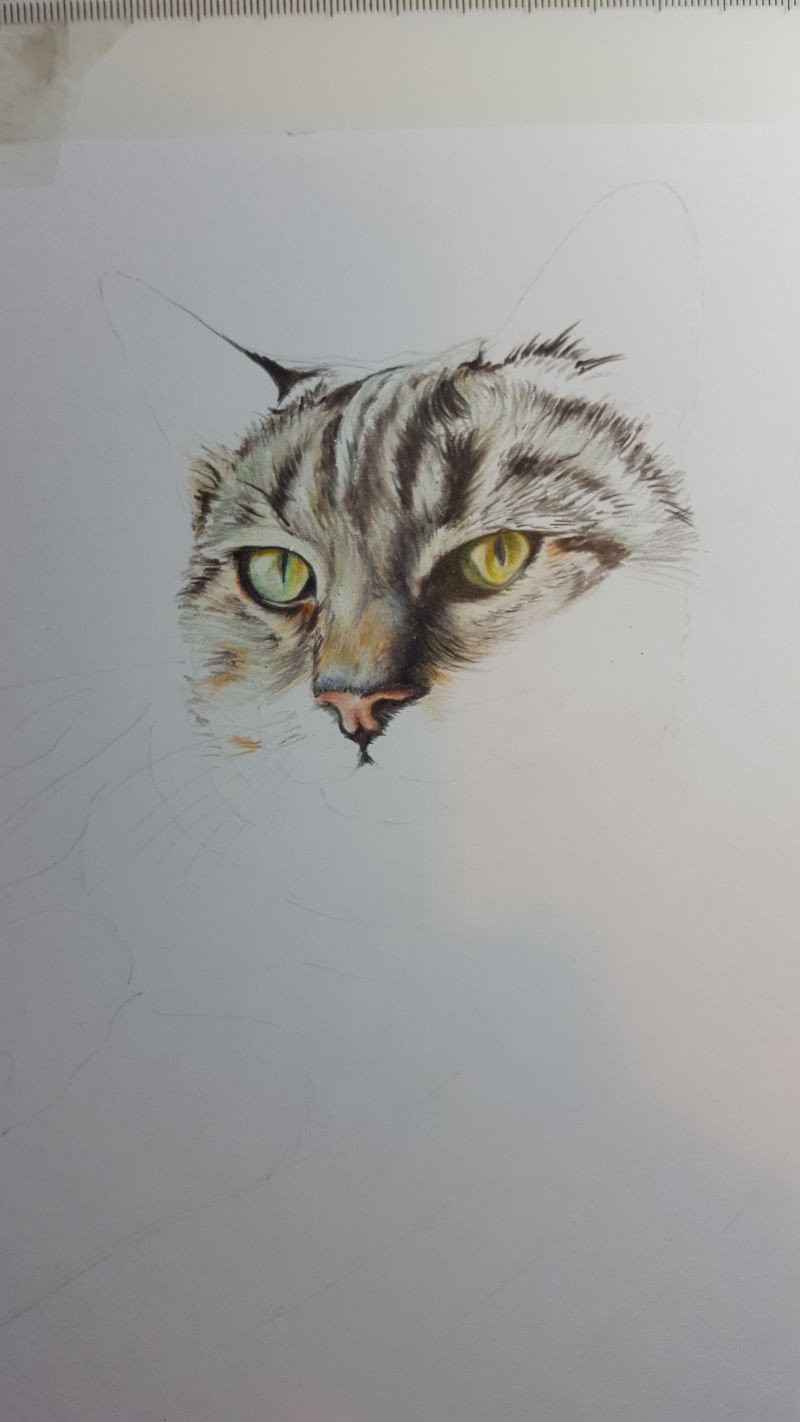 Tabby cat colour pencil drawing in progress
