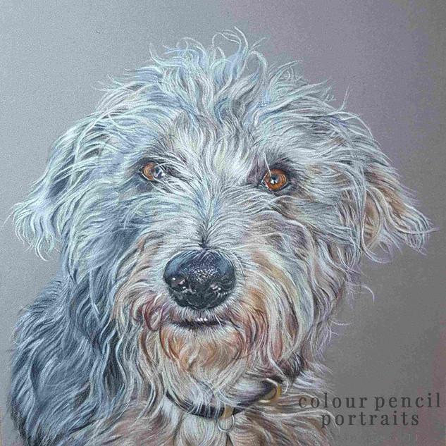 obi-bedlington-terrier-whippet-cross-cla