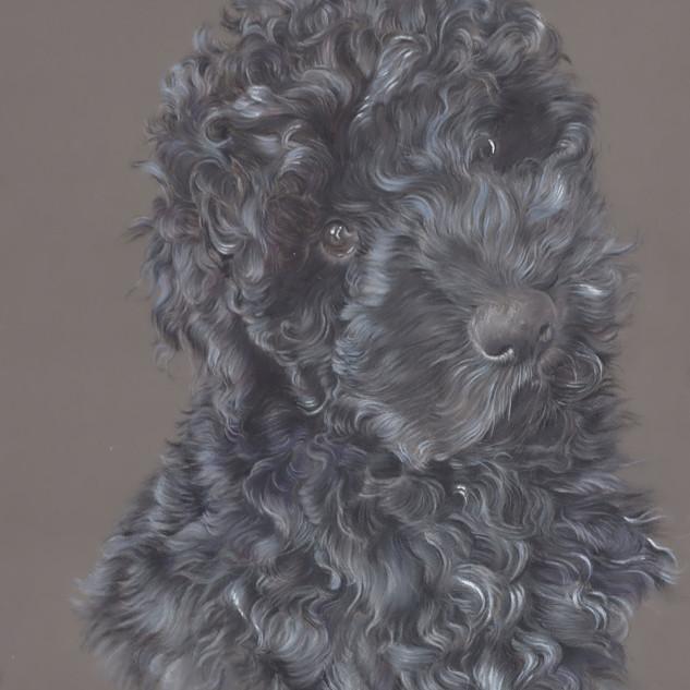 marley-cockapoo-dog-portrait-colour-penc