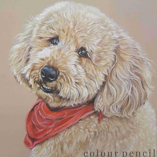arnie-golden-mini-doodle-colour-pencil-p