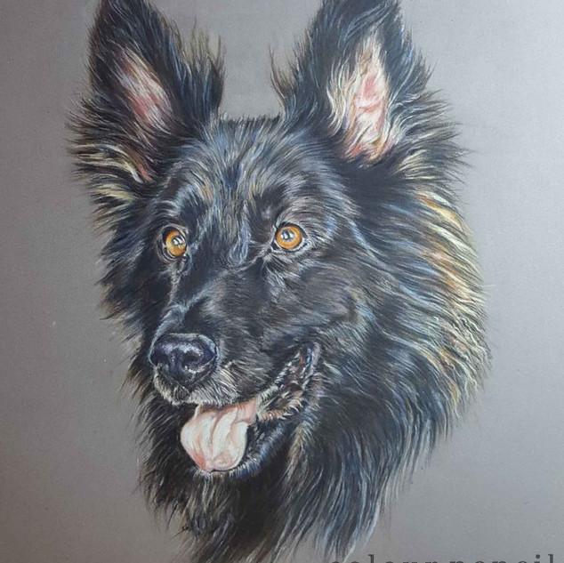 harley-long-haired-german-shepherd-colou