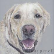 Barley-Yellow-Golden-Labrador-Dog-Portra