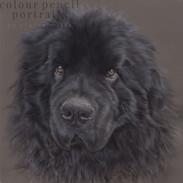 oska-newfoundland-dog- portrait-by-claire-mills-colour-pencil-portrait.jpg