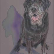 Archie-Black-Labrador-Colour-Pencil-Port