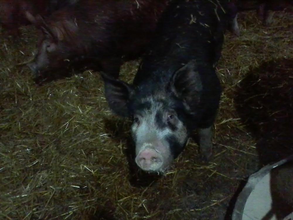 Pigs love spent grain