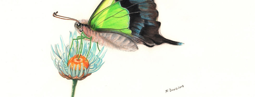 Art Print #1011 Macleay's Swallowtail Butterfly