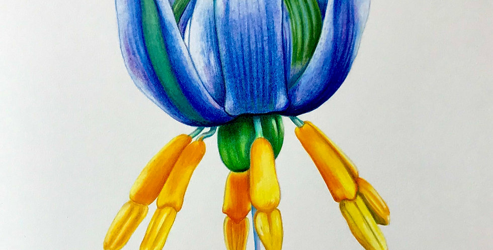 Art Print #1021 Forest Flaxlily Flower