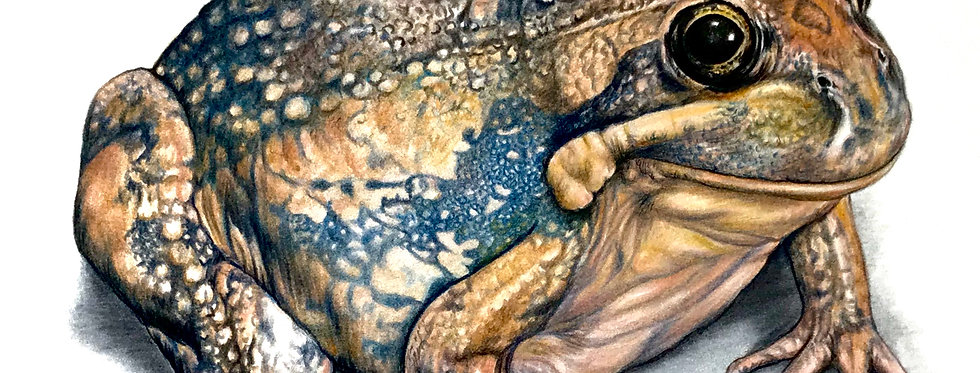Art Print #1008 Tasmanian Banjo Frog