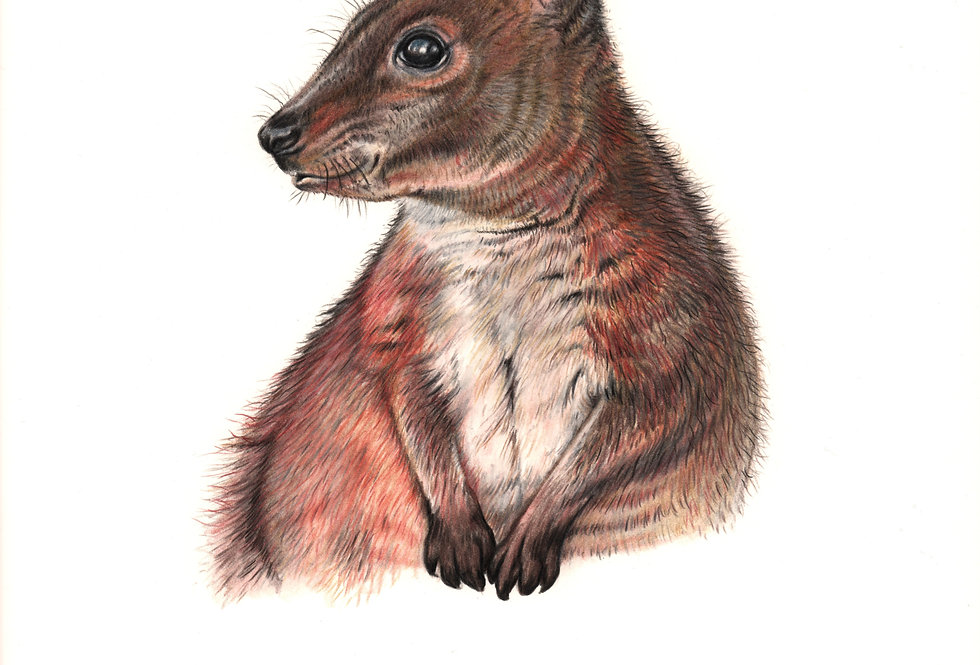 Art Print #1001 Tasmanian Pademelon
