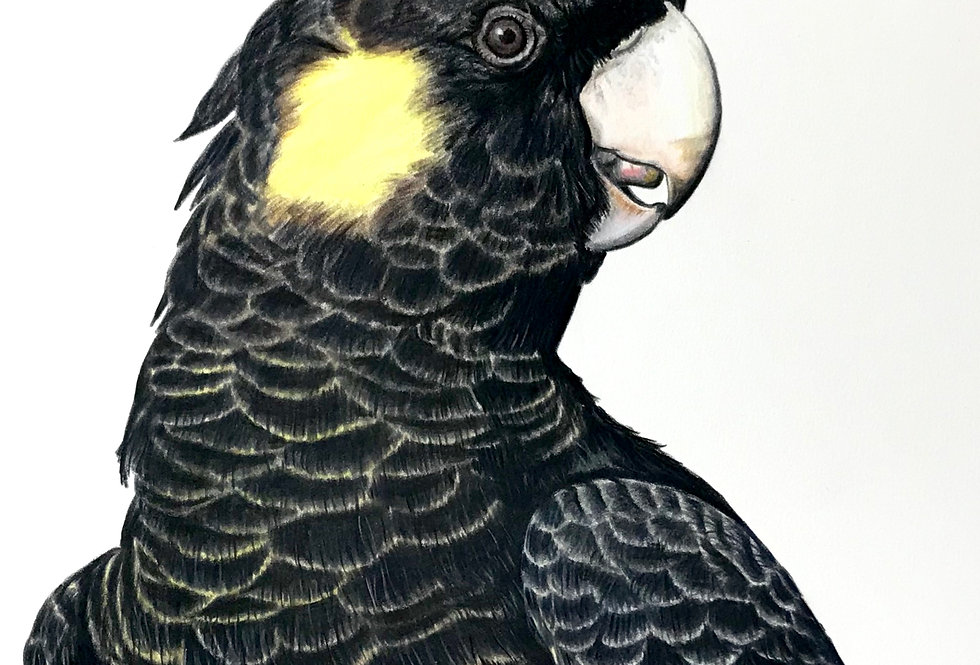 Art Print #1006 Yellow-tailed Black-cockatoo