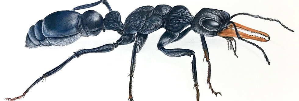 Art Print #1018 Jack Jumper Ant