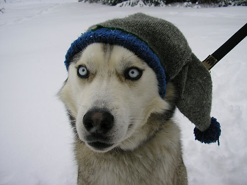 Jake the Siberian Sled Dog