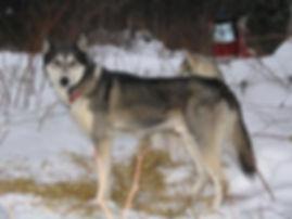 Exxon the Siberian sled dog