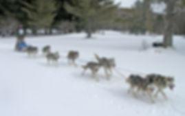 eight dog sled team in race