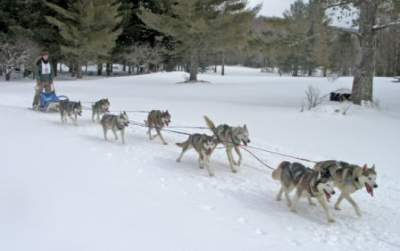 eight dog sled team in race