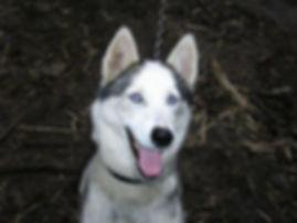 Allie the siberian sled dog