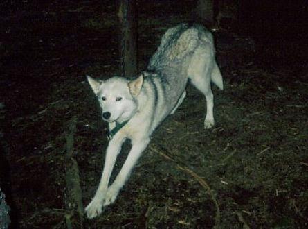 Misty the Siberian sled dog