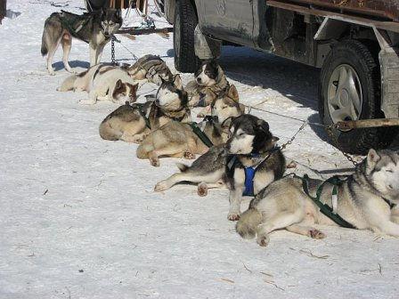 Sunbathing Siberian Huskies