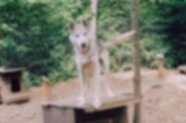 Dubois the Siberian sled dog pup