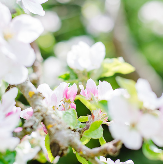 The beauty and scent of apple blossom