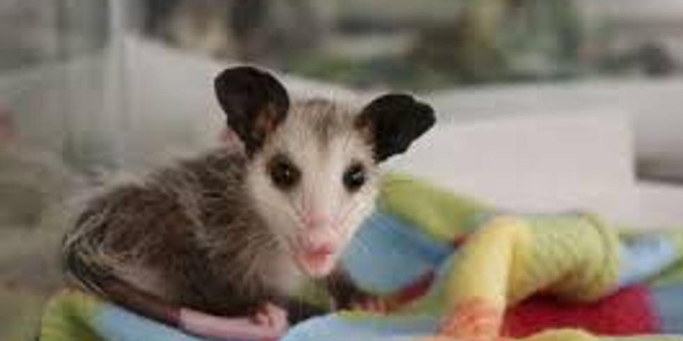 Wildlife Rehab Opossum June
