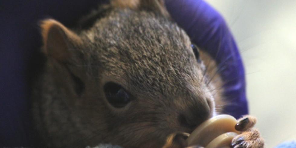 Wildlife Rehabilitation Squirrels