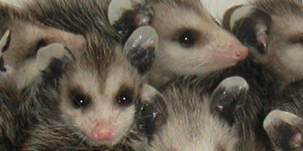 Wildlife Rehabilitation: Opossum