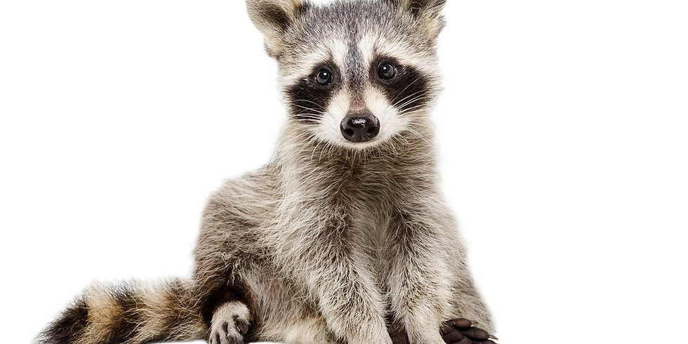 Wildlife Rehab Raccoons