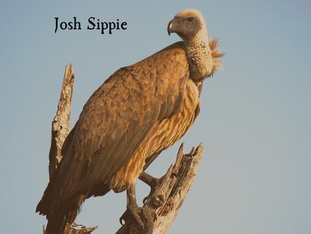 Vulture Dust, Josh Sippie