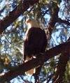 eagle..jpg