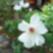 HSWhiteflower2.jpg