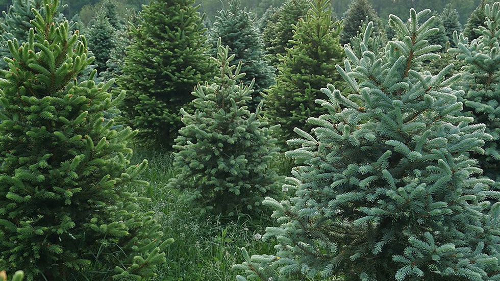 Christmas Tree Farm Solid Perfume