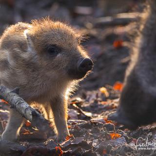Wildschwein-4667.jpg