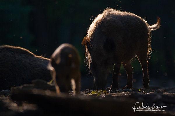 Wildschweine im Abendlicht