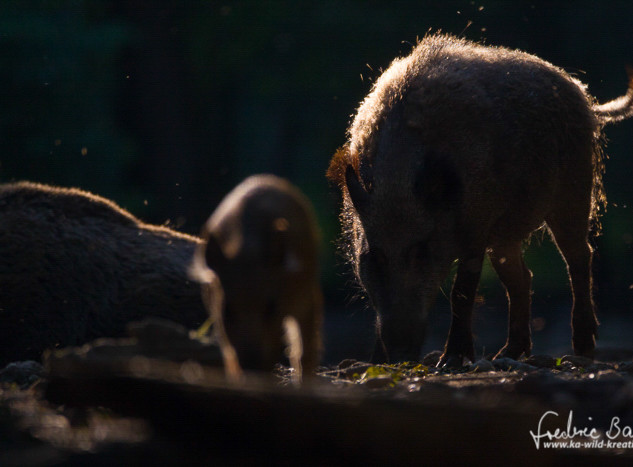 Wildschwein-9895.jpg